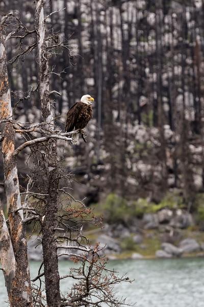 Bald Eagle at Medicine Lake, Jasper National Park