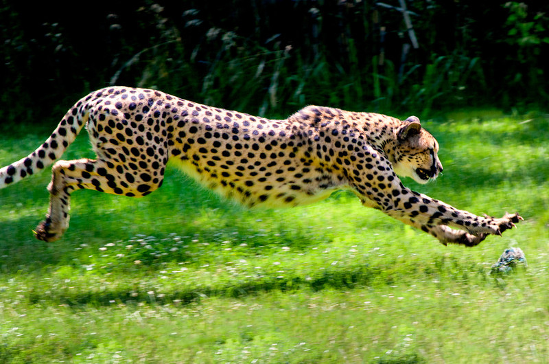 Cheetah chasing lure at zoo