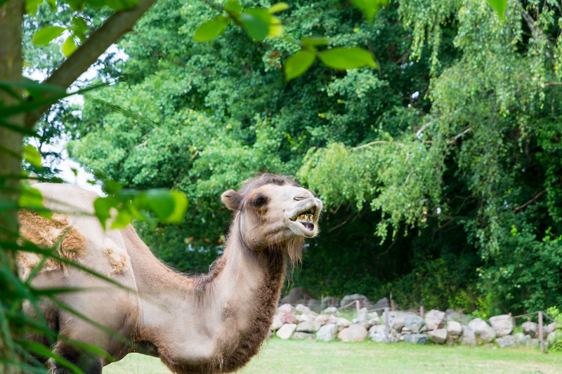 Big Grin Camel