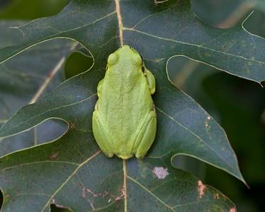 Eastern Gray Treefrog