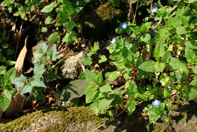 Nepali Greenbelt Flora