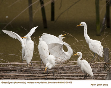 Great Egrets Rookery70308.jpg