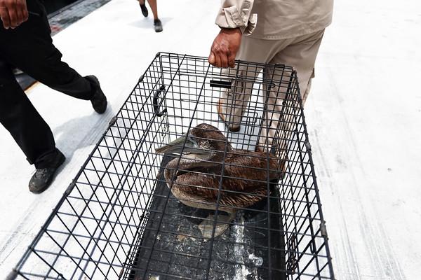 The Pelican Release