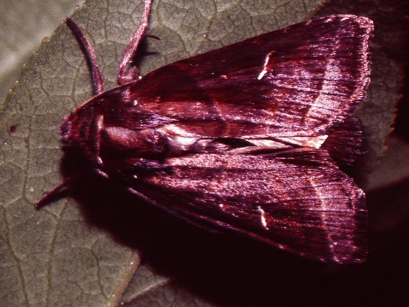 Haliophyle (Lepidoptera: Noctuidae), West Maui