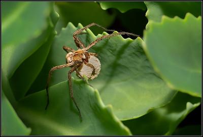 Kraamwebspin/Nursery web Spider