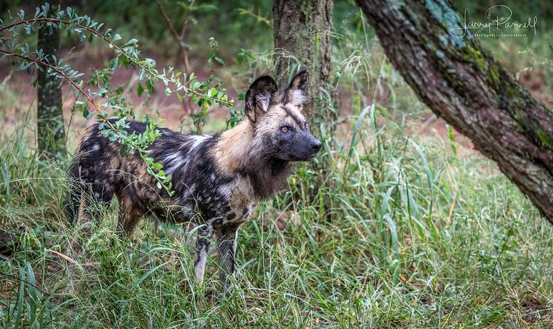 Sasol Wild Dog