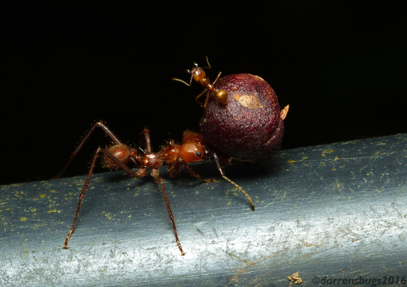 A common sight among foraging leafcutter ants (Atta cephalotes) in Costa Rica is a smaller ant, known as the minima caste, riding on top of the foraged item being carried by a larger worker. While it might appear that they are simply hitching a free ride, in fact they are providing an important service - protecting their sisters from opportunistic parasitic flies (Phoridae) that attempt to deposit eggs on them.