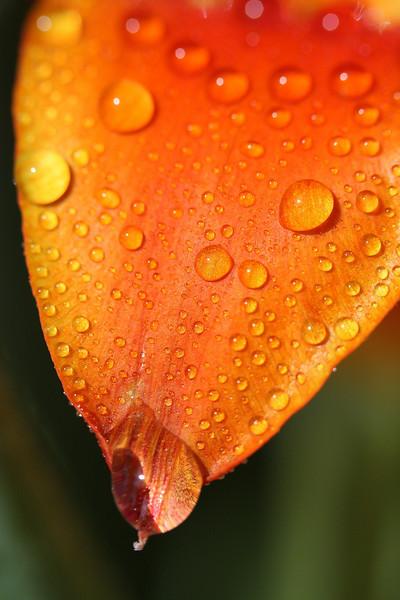 Tulip Macros 09.JPG