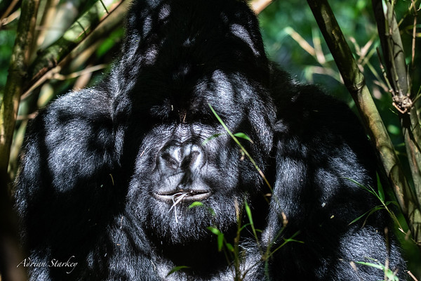 2 Mount Gahinga Gorillas