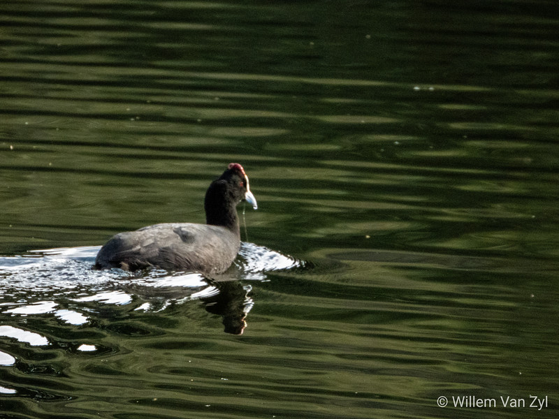 20190617 Red-knobbed Coot (Fulica cristata) from Majik Forest, Durbanville