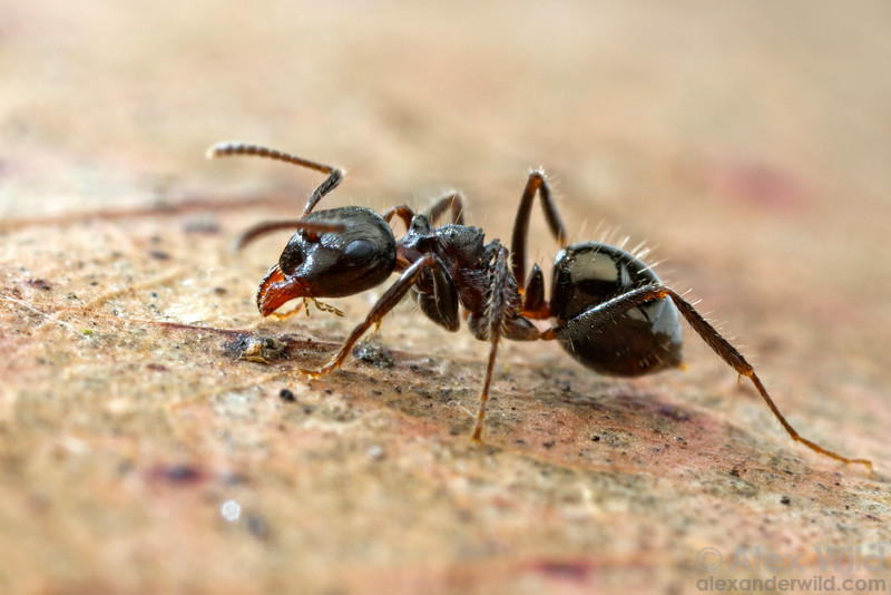 Notoncus ectatommoides   Bright, Victoria, Australia