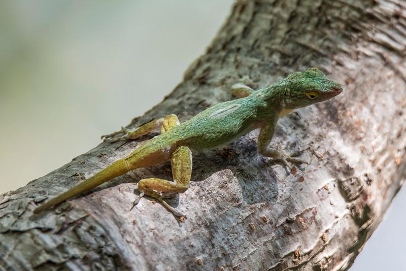 Unidentified Anole - Labadee, Haiti