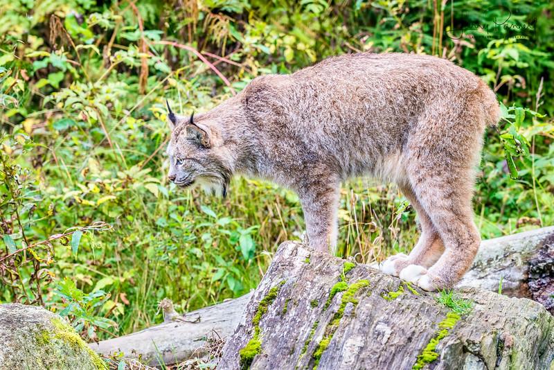 Canadian Lynx - hunting