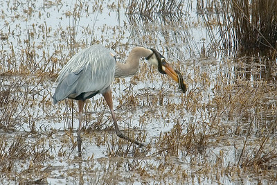 Great Blue Heron and Snake