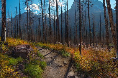 Regrowth in Glacier National Park