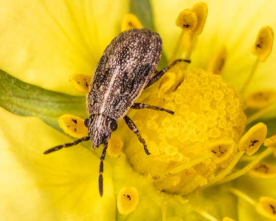 Seed bugs (Lygaeidae)