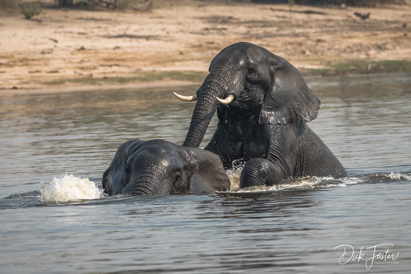 Elephants Playing in the River
