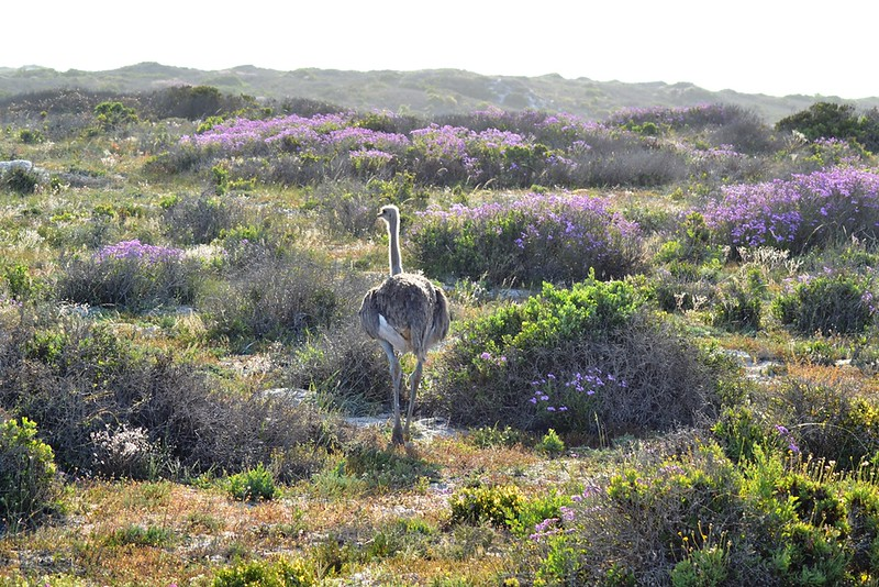 ostrich on flowered landscape