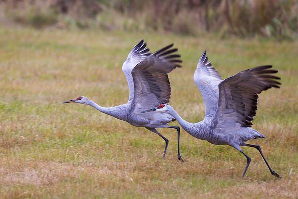 2012 Sherburne Cranes