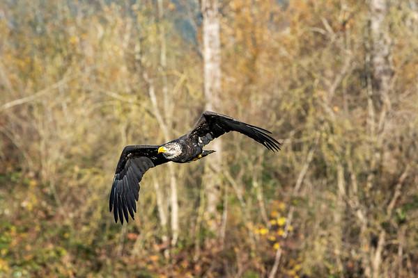Eagle Frenzy