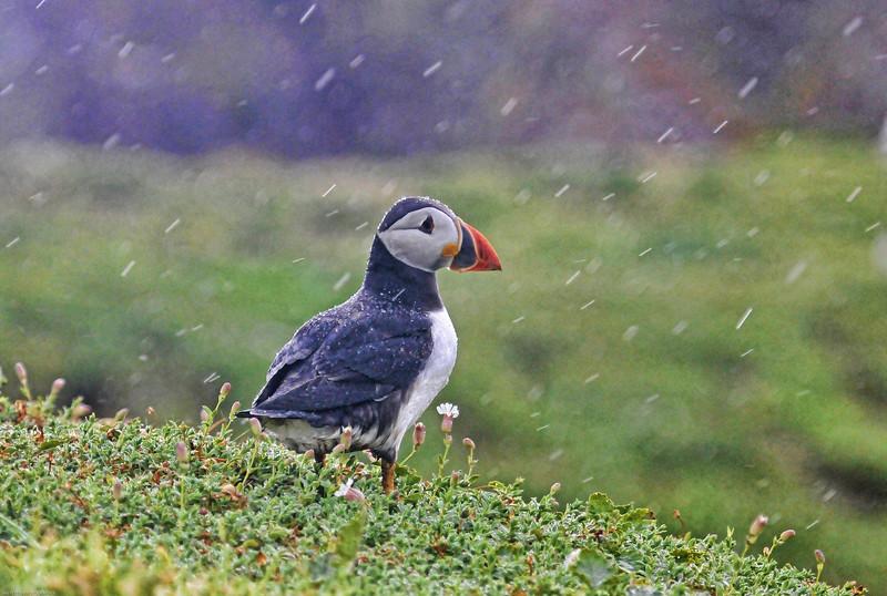 Puffin in the rain 8442.jpg