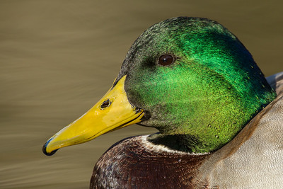 Ducks, Dabblers (Anatini)