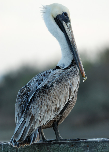 Brown Pelican - Goose Island State Park