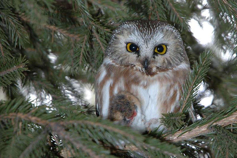 Owl - Northern Saw-whet - Anoka County, MN