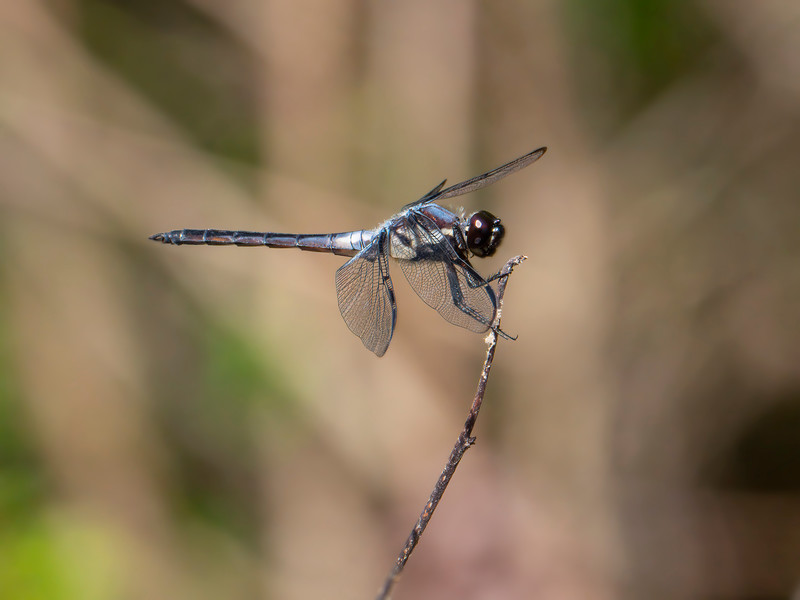 Bar-winged Skimmer (Libellula axilena), Male