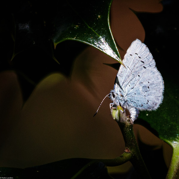 Holly Blue Laying Eggs