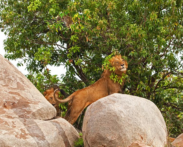 LEOPARD + LION.jpg