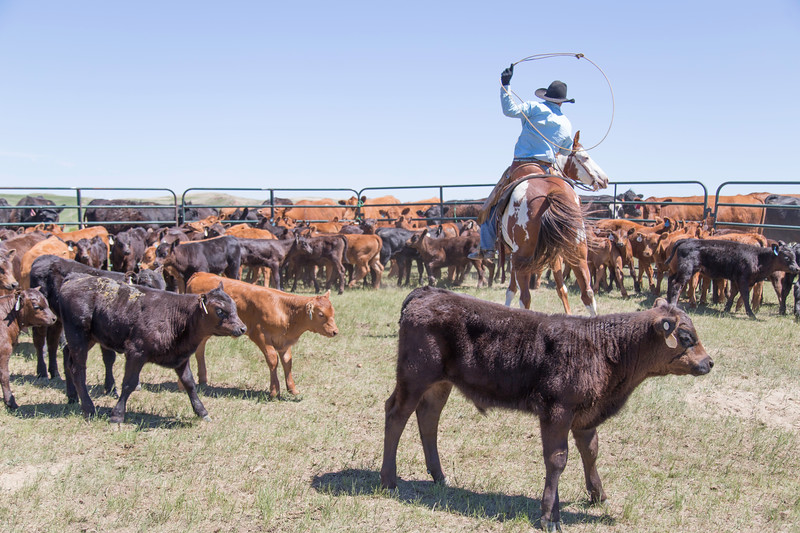 Cattle branding near Wibaux