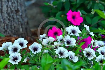 Supertunia Latte Petunia Flower Pictures