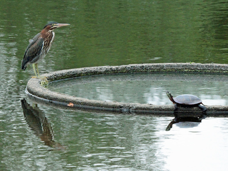 Green heron and turtle