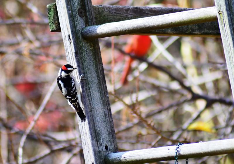 DSC_0346 Woodpecker.JPG