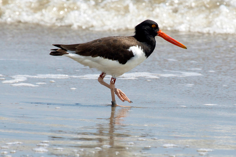 An Oyster Catcher on the beach.  Note the banding on its leg.