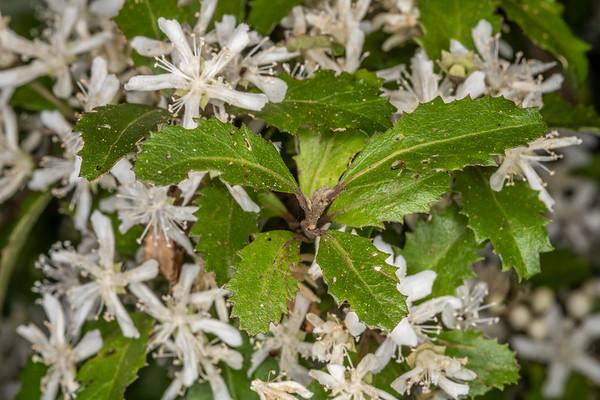 Narrow-leaved lacebark - Hoheria angustifolia