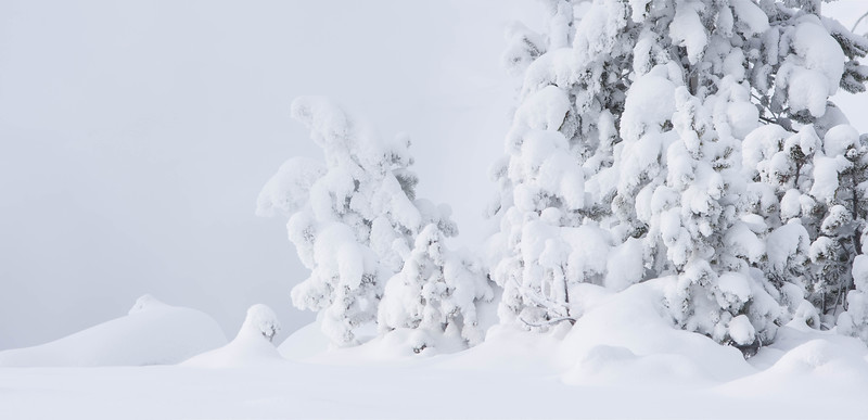 Snow-covered pines, Yellowstone National Park