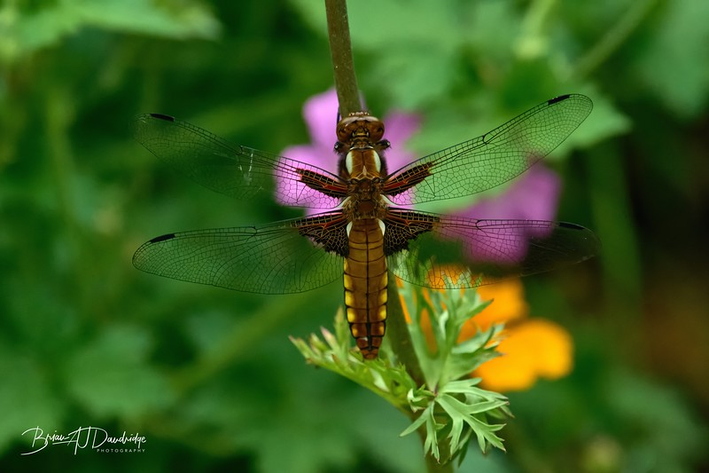 Broad-bodied Chaser-0248_DxO - 2-36 pm 1.jpg