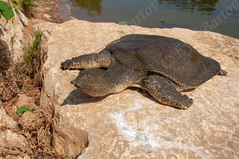 African softshell turtle   (Trionyx triunguis) צב רך מצוי
