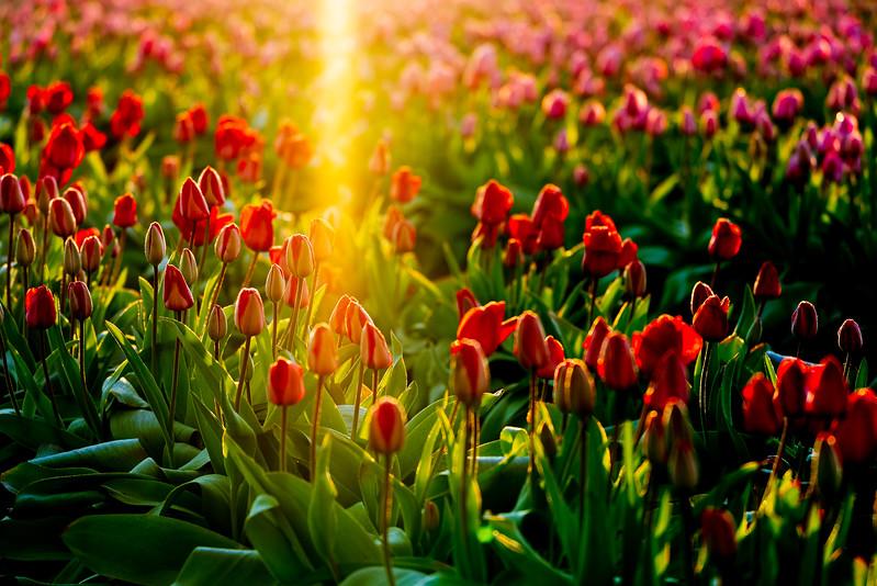 Sunrise Tulips-12.jpg