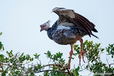 Southern Screamer, Pantanal, Brazil