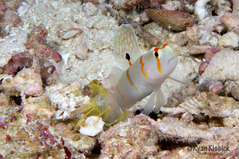 Randall's shrimp goby (right) with yellow shrimp (left). The nearly blind shrimp builds and maintains the pair's burrow while the goby keeps watch for danger