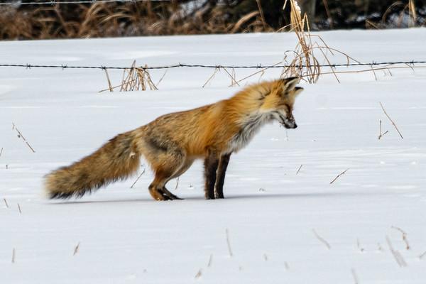 4-10-20 Red Fox Priddis