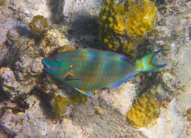 Parrotfish at Solomon Beach, St John