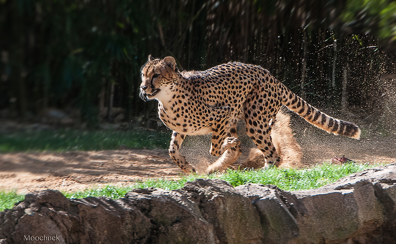 Busch_speed_Cheetah1202.jpg