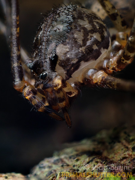 Portrait of a spitting spider