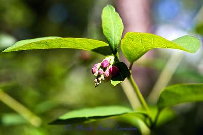 Common Snowberry - Symphoricarpos albus