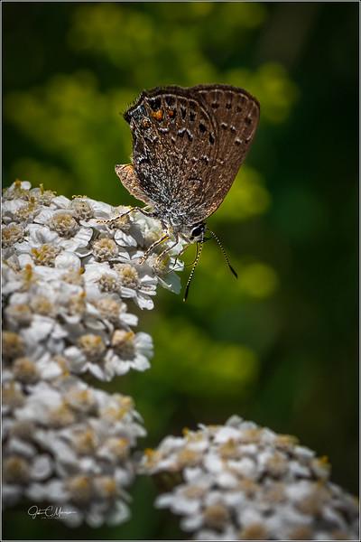 JZ6_3567 Butterfly LPW.jpg