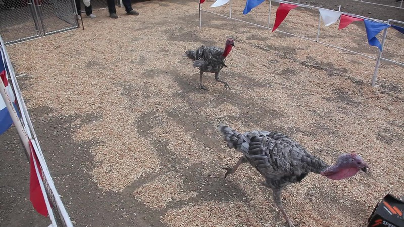 Turkey Race.mov